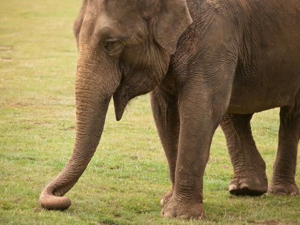 SB026 elephant