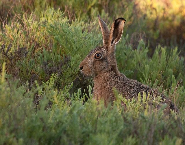SB026 hare1
