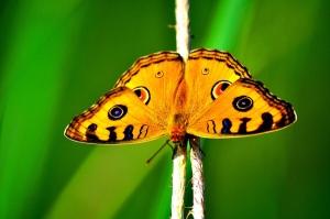 SB002 butterfly