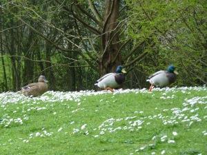 SB072 ducks